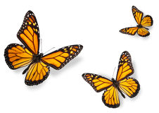 Monarch Butterflies Isolated on White. Three Monarch Butterflies Isolated on White Flying towards center of frame royalty free stock images