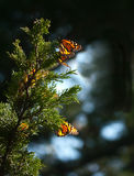 Monarch butterflies on juniper tree branch. Few Monarch butterflies resting on a juniper tree branch. Each winter Monarch butterflies migrate from Canada to royalty free stock photography