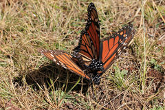 Monarch Butterflies mating, Michoacan, Mexico stock photos