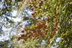 Monarch butterflies in Michoacan. Monarch butterflies arriving at Michoacan, Mexico, after migrating from Canada royalty free stock photography