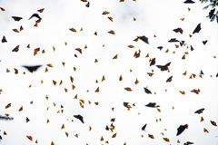 Monarch butterflies in Michoacan royalty free stock photo