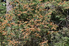 Monarch Butterflies, Michoacan, Mexico Stock Image