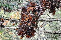 Monarch Butterflies, Michoacan, Mexico. Monarch Butterflies congregating on trees, Michoacan, Mexico royalty free stock photos