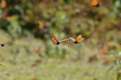 Monarch Butterflies, Michoacan, Mexico Royalty Free Stock Photography