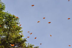 Monarch Butterflies, Michoacan, Mexico. Monarch Butterflies in flight around trees, Michoacan, Mexico Stock Images