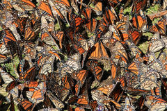 Monarch Butterflies, Michoacan, Mexico stock photo