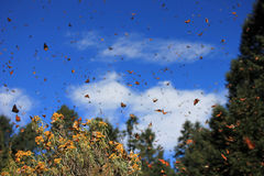 Monarch Butterflies, Michoacan, Mexico royalty free stock image
