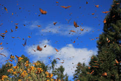 Monarch Butterflies, Michoacan, Mexico. Monarch Butterflies in Michoacan, Mexico, millions are migrating every year and waking up with the sun royalty free stock images