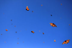 Monarch Butterflies, Michoacan, Mexico royalty free stock images