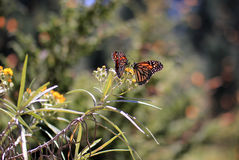 Monarch Butterflies, Michoacan, Mexico stock photos