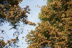 Monarch butterflies in Michoacan. Monarch butterflies arriving at Michoacan, Mexico, after migrating from Canada stock photos