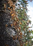 Monarch butterflies in Michoacan. Monarch butterflies arriving at Michoacan, Mexico, after migrating from Canada royalty free stock images