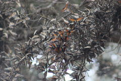 Monarch Butterflies migrating and clustered in trees Royalty Free Stock Photos