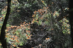 Monarch Butterflies Migration. The monarch butterfly (Danaus plexippus). Taken in the the Rosario sanctuary of the Mariposa Monarca Biosphere Reserve in Mexico stock photos