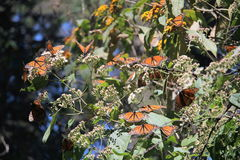 Monarch Butterflies Migration Stock Photo