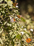 Monarch butterflies on milkweed. Plant with white flowers in Mexico Royalty Free Stock Photos