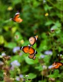 Monarch Butterflies. Monaco butterflies are sitting on single twig of the plant Royalty Free Stock Photos