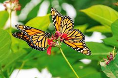 Monarch butterflies. On a flower royalty free stock photo