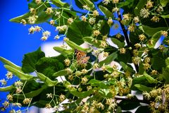 Monarch butterflies perform annual migrations across America which have been called one of the most spectacular natural phenomena royalty free stock image