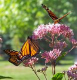 Monarch Butterflies on Pink Petal Flowers during Daytime Royalty Free Stock Image