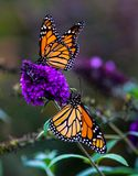 2 Monarch Butterflies on a purple butterfly bush. The Monarch butterfly is a milkweed butterfly in the Nymphalidae family. Also known as common tiger or royalty free stock image