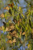 Monarch butterflies resting on a tree Royalty Free Stock Photo