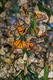 Monarch Butterflies. Small Cluster Of Migrating Monarch Butterflies Clinging On A Eucalyptus Tree Branch At Pismo Beach Monarch Grove, California Central Coast royalty free stock images
