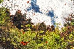 Monarch butterflies at Michoacan, Mexico. Monarch Butterflies Spring Awakening in Mexico royalty free stock photos