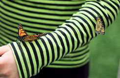 Monarch Butterflies on Striped Sleeve. Two colorful monarch butterflies land on a child's green striped shirt sleeve stock photos