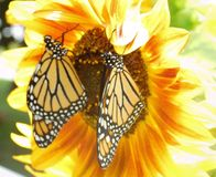 Monarchs & Sunflower royalty free stock images