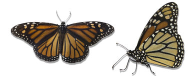 Monarch butterflies isolated over white background. Top and side view of Monarch butterflies, This butterfly emigrate from Canada to the states of Mexico and royalty free stock image