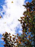 Monarch Butterflies on tree branch in blue sky background Royalty Free Stock Images