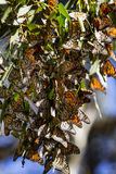 Monarch Butterflies in a Tree royalty free stock photos