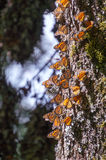 Monarch Butterflies on tree trunk Royalty Free Stock Photos