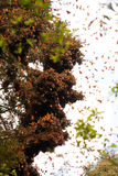 Monarch butterflies in a tree at Valle de Bravo.  Stock Image