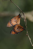 Monarch butterflies Royalty Free Stock Image