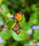 Monarch Butterflies. Two Monaco butterflies are sitting on single twig of the plant Royalty Free Stock Photos