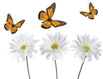 Monarch Butterflies and White Daisies. Studio lit and perfectly isolated royalty free stock photography