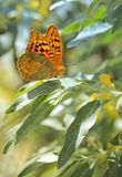 Monarch butterflies on willow Stock Photos
