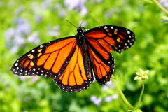 Monarch butterfly. Details of colorful Monarch butterfly spreading wings, flowers in background Stock Image