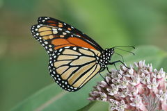 Monarch butterfly. A monarch butterfly on a milkweed plant Stock Images