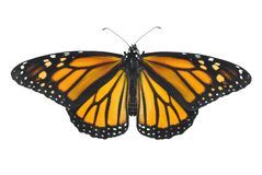 Monarch Butterfly. Isolated on a white background Stock Image