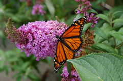 Monarch Butterfly. On a purple flower Royalty Free Stock Photo