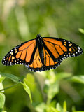 Monarch butterfly. In the summer Royalty Free Stock Images