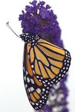 Monarch Butterfly. A monarch butterfly drying its wings on butterfly bush stock image