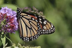 Monarch Butterfly. Feeding on purple flower from butterfly bush Royalty Free Stock Photo