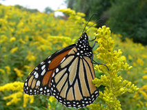 Monarch Butterfly. On Golden Rod On Cool Morning Sun Stock Photography