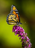 Monarch butterfly. A beautiful Monarch butterfly on diffused green background Stock Photo