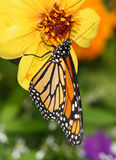 Monarch Butterfly. On A Yellow Flower, Danaus plexippus stock photography