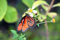 Monarch butterfly. Beautiful orange monarch butterfly on plant Sanibel Florida royalty free stock photos